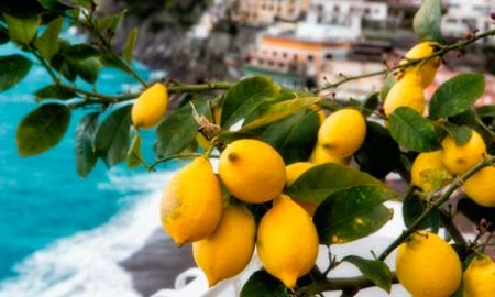 LEMONS GROWING ALONG THE AMALFI COAST